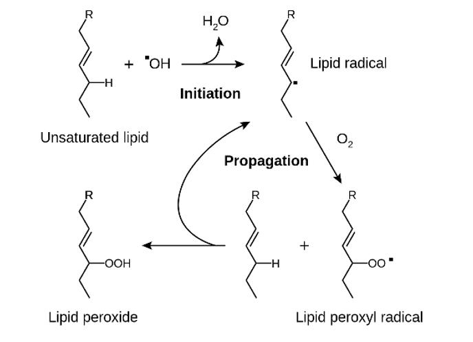 lipid peroxidation pathway